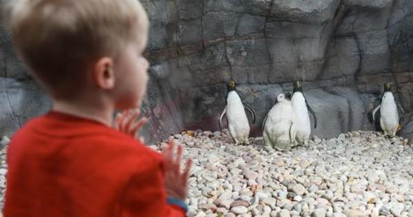 Xây chuồng chim cánh cụt gần 2 tỉ đồng nhưng không kiếm được chim xịn, sở thú đành bày mô hình nhựa cho đỡ mất khách