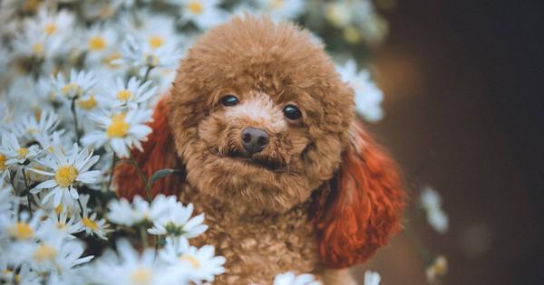 Xuất hiện ứng viên vô địch mùa giải cúc họa mi năm nay: Chú poodle tròn vo e ấp bên hoa trắng