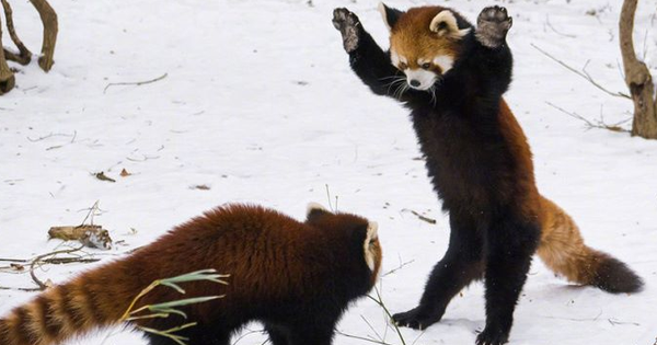 Biểu cảm ''Hăm doạ kẻ thù'' của loài gấu trúc đỏ làm chao đảo cộng đồng mạng vì dễ thương quá
