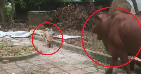 Clip vui: Chú chó nhỏ được sen giao nhiệm vụ dắt bò đi ăn trưa mỗi ngày
