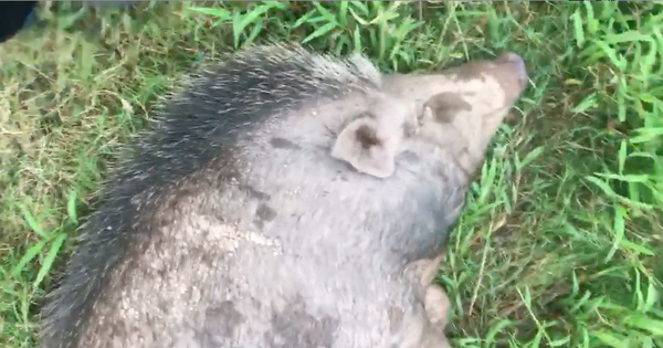 Góc boss khủng: Mua lợn rừng về làm cỗ, chuẩn bị thịt thì biết nó có bầu nên gia đình tự dưng có bầy pet độc