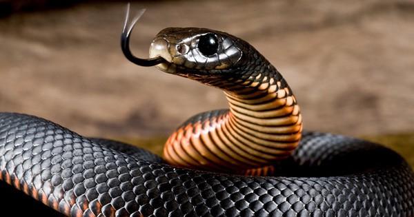 Nhìn lưỡi rắn thì cũng chẳng xa lạ gì nhưng chức năng của chúng là gì thì chắc chắn bạn không biết