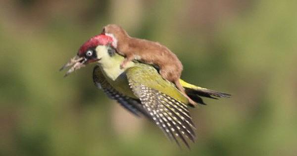 Chùm ảnh khoảnh khắc động vật khác loài ''cõng'' nhau - thế mới thấy thiên nhiên kỳ thú thế nào
