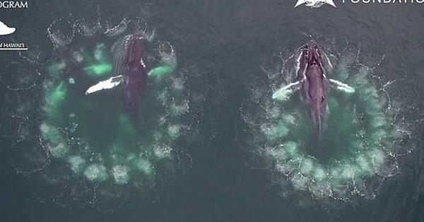 Video cực hiếm ghi lại quá trình cá voi ''đan lưới'' săn mồi: Cảnh tượng được xem là kỳ vĩ nhất của đại dương