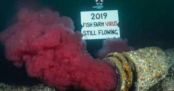 Suốt 2 năm qua người Canada không dám ăn đến một miếng cá hồi hoang dã, nguyên nhân chính là vì đường ống ''địa ngục'' ai cũng khiếp sợ