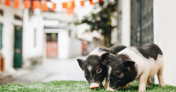 Giữa sức nóng dịch tả, giới trẻ Hà thành vẫn ''săn lùng'' lợn cảnh mini giá vài triệu làm thú cưng