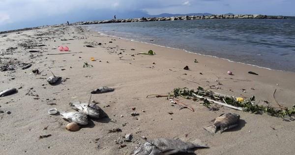 Cá chết hàng loạt dạt vào bờ biển Đà Nẵng khiến người dân lo lắng