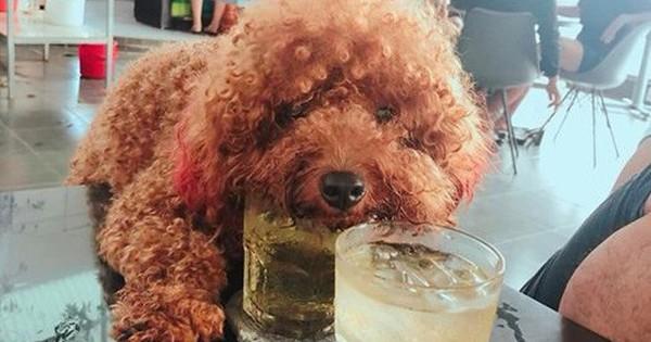 Bức xúc chuyện để chó cưng trèo lên bàn uống cốc trà đá với chủ trong quán nước: Người sau vào uống sẽ thế nào?