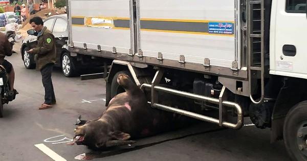 Lâm Đồng: Trâu đực nặng hơn 400kg bị xe tải tông tử vong trên Quốc lộ 20