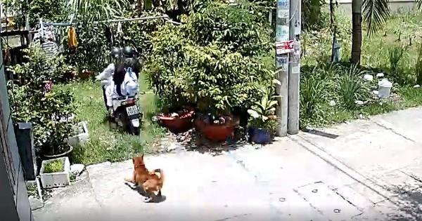 Góc sợ chó: 2 bạn trẻ la hét thất thanh, lái xe máy tông thẳng bụi cây khi bị chó đuổi