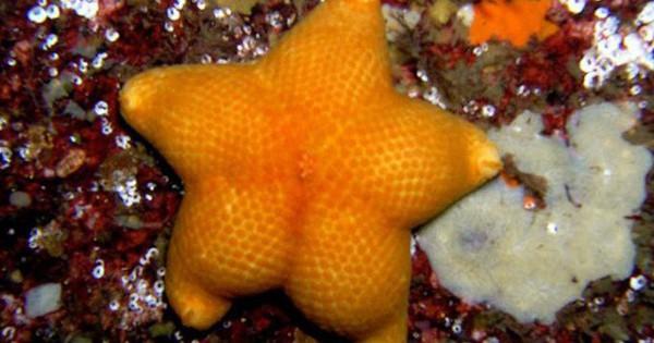 Quá mệt mỏi vì những pha khoe thân nhàm chán của loài người? Hãy đến xem mấy ông sao biển dưới đây khoe 3 vòng căng đét, ăn đứt cả Ngọc Trinh!