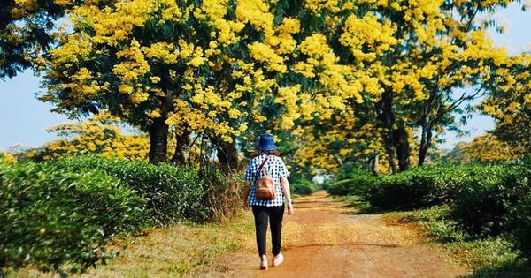 Không chịu thua kém Đà Lạt, Gia Lai cũng đang vào mùa hoa muồng vàng đẹp ngất ngây, lên hình cứ ngỡ trời thu Hàn Quốc