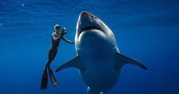 """Cá mập trắng """"quái vật"""" bất ngờ xuất hiện ngoài khơi Hawaii"""