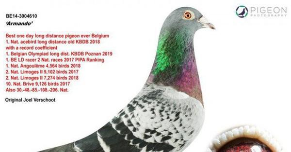 Một con bồ câu Bỉ được người chơi chim Trung Quốc mua với giá 32,5 tỷ