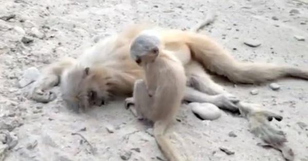 Hình ảnh voọc vàng con dùng mọi sức lực lay mẹ bị điện giật chết khiến ai chứng kiến cũng đều rơi nước mắt
