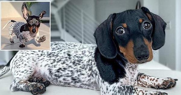 Thuộc giống xúc xích nhưng lại có bộ lông như chó đốm, chú chó khiến mọi người ''đổ ầm ầm'' dù trông chẳng giống ai
