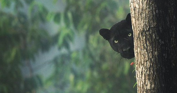 Hình ảnh bắt ngay khoảnh khắc báo đen hoang dã núp mình săn mồi với ánh mắt bí ẩn đẹp đến mê hoặc gây bão MXH