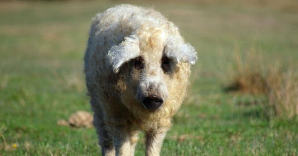Chú lợn lông xù giống hệt con cừu nhưng tính cách thì như một con chó