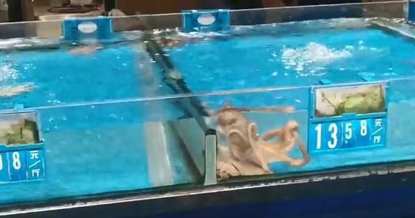 Tủi thân phận nhà nghèo, chú bạch tuộc bơi sang bể đắt tiền để ''đánh đu'' vào giới thượng lưu