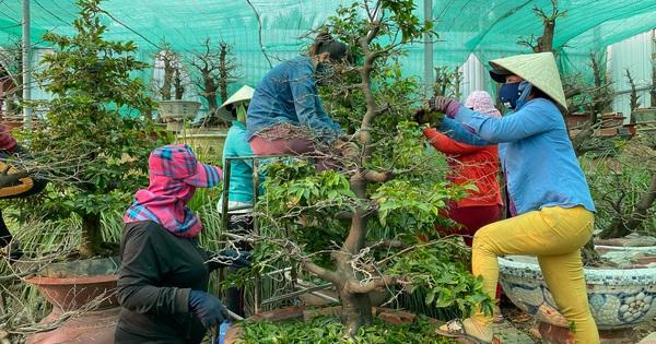 Bỏ 200 triệu thuê 30 người lặt lá mai vài ngày đón Tết Tân Sửu 2021