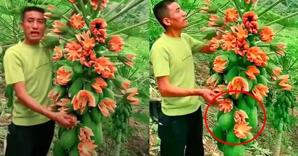 Lão nông khoe cây đu đủ kỳ quái trái bung nở như hoa thu hút 2,6 triệu lượt xem, dân mạng rình mò phát hiện sự thật 'không cãi được'