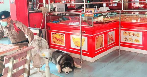 ''Thánh ngáo'' Husky được tuyển trông tiệm vàng nhưng ngủ say tới nỗi mặc kệ luôn kẻ cướp