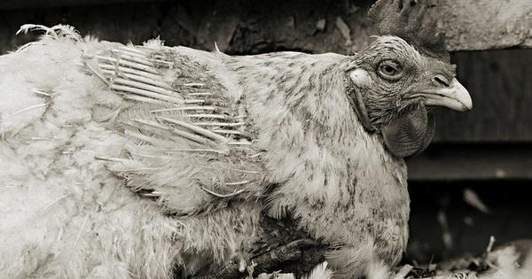 Chùm ảnh những con vật được ''cho phép sống đến già'' gây ám ảnh lạ kỳ: Khi các mảnh đời ngắn ngủi được ''ban tặng'' sự sống buồn tủi