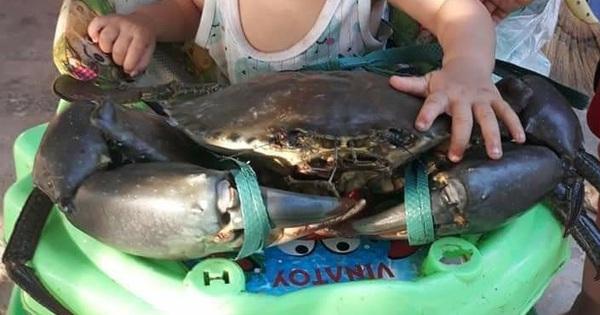 Cận cảnh chú cua biển nặng tận 7kg bị sa lưới ở Móng Cái đang được đấu giá, nhìn size cái càng thôi cũng đủ choáng!