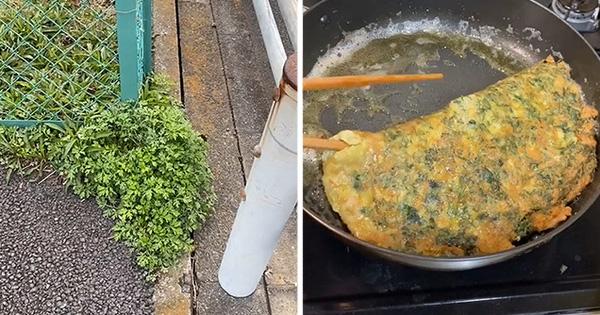 Loại cây quý như thuốc ở Việt Nam nhưng sang Nhật bị coi là cỏ dại, mọc đầy đường mà chẳng ai ăn?