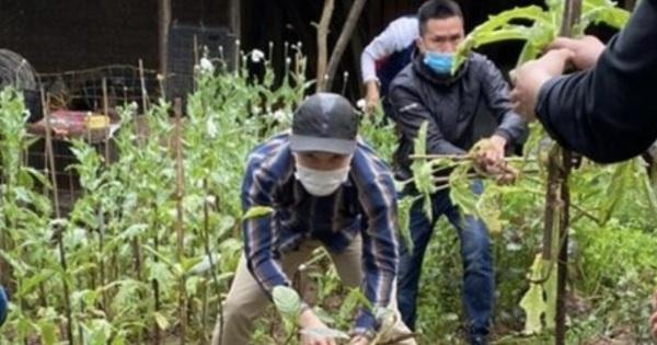 Hà Nội: Phát hiện một hộ dân trồng 365 cây anh túc trong vườn nhà