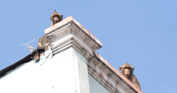 Chuẩn bị đưa đàn khỉ vừa bắt được trong khu dân cư Sài Gòn về rừng tự nhiên