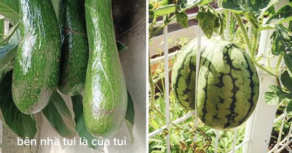 Những lần trái cây Việt Nam ra hoa kết quả vô cùng éo le, gia chủ bất lực không biết phải thu hoạch làm sao