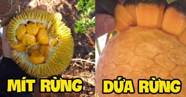 Việt Nam có những loại quả rừng dù mọc dại nhưng giá bán không hề rẻ tí nào, hương vị thì khác xa 'anh chị em' cùng dòng họ
