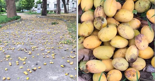 Cây xoài 'bí ẩn' nhất Việt Nam: Quả chín rụng đầy gốc mà chẳng ai thèm nhặt, hoá ra mọc trong sân ngôi trường nổi tiếng này