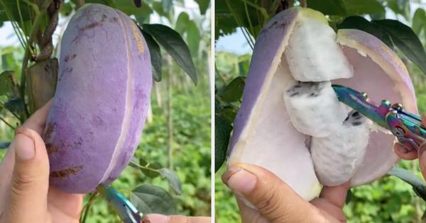 Thứ quả 'tím lịm tìm sim' trông như xoài nhưng bên trong lại giống chuối, hoá ra ở Việt Nam giá lên tới cả trăm ngàn 1 trái