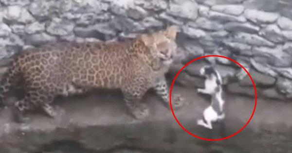 Clip: Báo hoa mai với mèo cùng rơi xuống giếng, tưởng không cân sức ai ngờ mèo quá là 'yang hồ' luôn