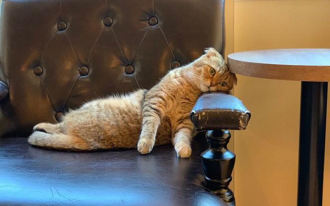 Không chỉ con người, đến cả mèo làm trong quán cà phê Nhật cũng xụi lơ vì Tết