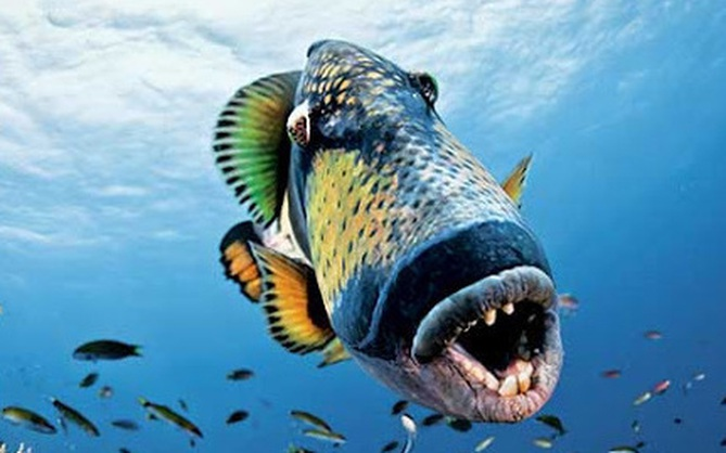 """Loài cá tai tiếng nhất đại dương: Đã xấu phát hờn còn nổi tiếng """"trẻ trâu"""", gây sự cả với con người"""