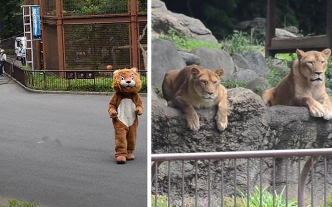 """Sư tử thật ngán ngẩm ngồi nhìn sư tử """"fake"""" xổng chuồng tại sở thú Nhật bản"""