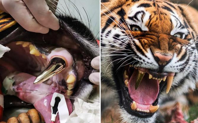 Nàng hổ móm được lắp răng giả mạ vàng xịn đét, tăng muôn phần cool ngầu với chị em
