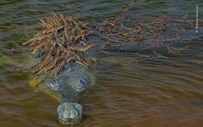 """Sự thật bất ngờ đằng sau bức ảnh ông bố cá sấu """"shipper"""" chở hàng trăm con non: Thân trai 12 bến nước là đây"""