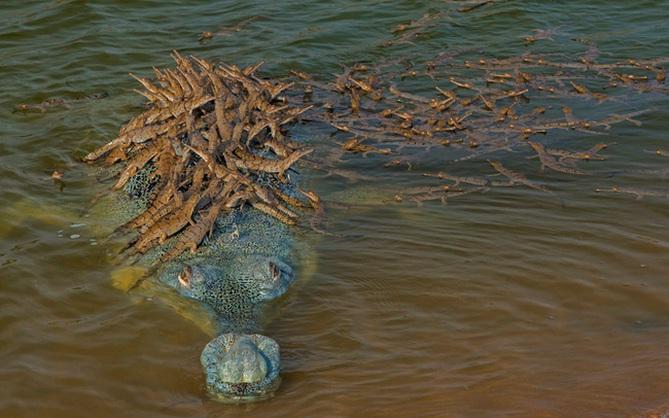 """Khoảnh khắc cõng con trên lưng đầy dịu dàng của cá sấu khiến ai cũng thốt lên: """"Bố là tất cả"""" và đây không phải là """"ông bố của năm"""" duy nhất"""