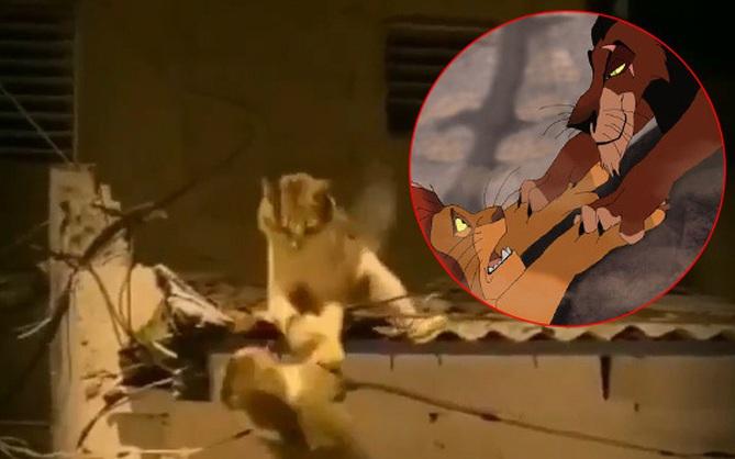 """Video 2 chú mèo đánh nhau trên mái nhà vô tình cover lại cảnh phim """"Vua Sư Tử"""" và gây sốt với hàng triệu lượt xem"""