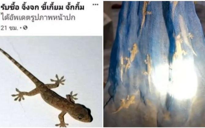 Dân Thái đổ xô đi bắt thạch sùng bán kiếm lời, 220 nghìn đồng/cân mà đắt hàng như tôm tươi