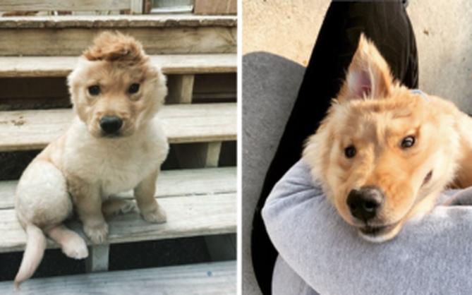"""Bị chó mẹ cắn đứt tai khi mới đẻ rồi vụt sáng thành ngôi sao MXH, """"chú cún kì lân"""" nổi tiếng giờ ra sao?"""