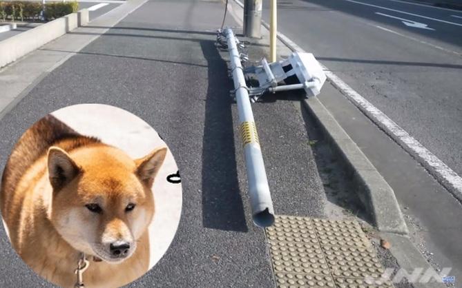 Bị chó tè vào quá nhiều, cột đèn giao thông đổ sập sau 23 năm dài chịu đựng