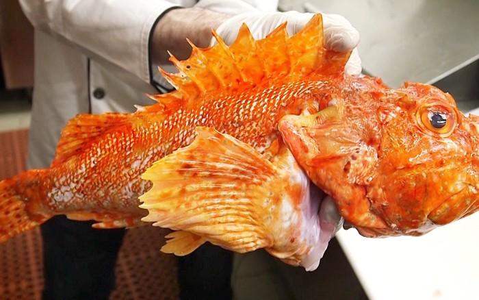 Mang cá bọ cạp - loài cá có nọc độc nhất thế giới đi chế biến món ăn và ...