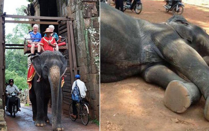 Ám ảnh nạn bóc lột động vật dã man, chính phủ Campuchia cấm hẳn dịch vụ cưỡi voi ở ...