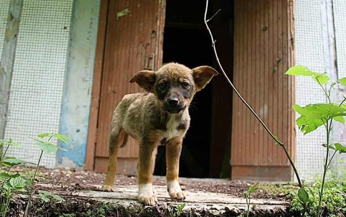Những chú chó bị bỏ rơi ở Chernobyl: Cô độc giữa mảnh đất chết, rồi vươn lên ...