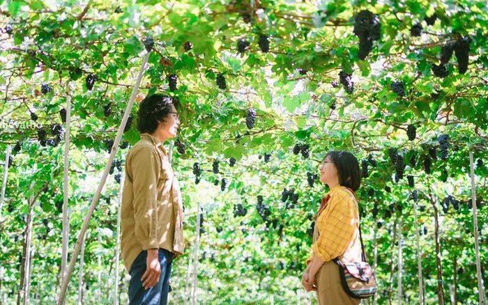 """Tháng 9 đổi gió """"săn nho"""" tại 2 khu vườn nổi tiếng nhất Ninh Thuận để lúc đi có ..."""